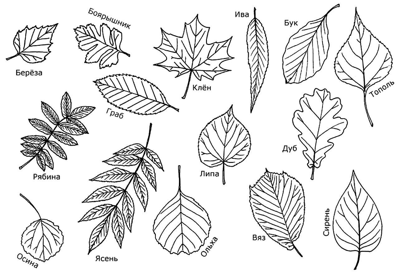 Почему желтеют и опадают листья у фикуса Бенджамина