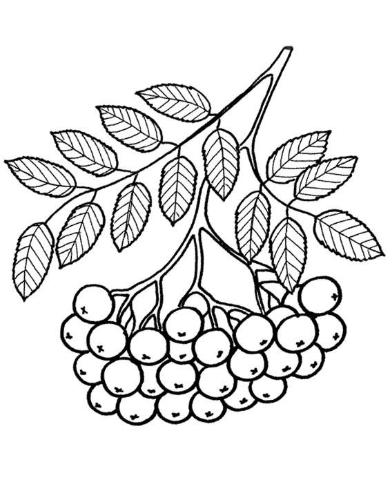 Раскраски гроздь рябины